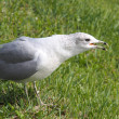Noisy Gull — Stock Photo