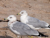Pair of Ring Billed Gulls on a Beach — Stock Photo