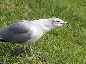 Noisy Gull — Foto de Stock