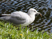 Ring Billed Gull Eating — Stock Photo