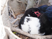 Resting Muscovy Duck — Stock Photo