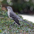 Northern Mockingbird on a Bush — Stock Photo