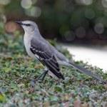 Northern Mockingbird on a Bush — Stock Photo