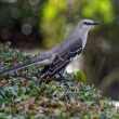 Stock Photo: Florida State Bird Northern Mockingbird