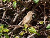 Sparrow Blending In — Stock Photo
