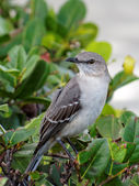 The Florida State Bird - Northern Mockingbird — Stock Photo