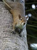 Upside Down Squirrel — Stock Photo