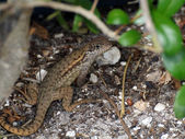 Lounge Lizard — Foto de Stock