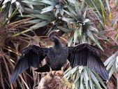 Anhinga Wings Spread Open Wide — Foto de Stock