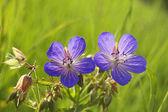 Blue wild flowers. Wild geranium — Stock Photo