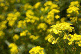 Yellow wild flowers — Stock Photo