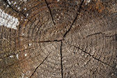 Wood texture. Cross section ot the trunk. Stump closeup — Stock Photo