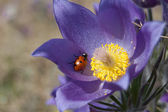 Ladybird on the snowdrop — Stock Photo