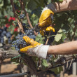 Stock Photo: Grape harvesting