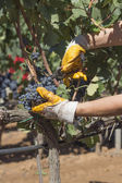 Grape harvesting — Stockfoto