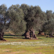 Olive trees — Stock Photo #39390591