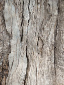 Olive tree bark Background — Stock Photo