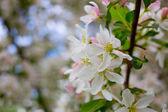 Kwitnienia jabłoni — Zdjęcie stockowe