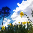 Narcissuses against the blue sky. — Stock Photo #44785443