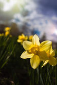 Narcissuses against the blue sky. — Stock Photo