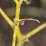The red colorado beetles larva feeding — Stock Photo #50729373