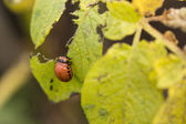 The red colorado beetles larva feeding — Foto Stock