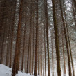 Pine tree forest in winter — Stock Photo