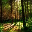 Forest trees with sunlight in the background creating long shadows on the ground — Stock Photo