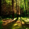 Forest trees with sunlight in the background — Stock Photo