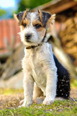 Foxterrier puppy — Zdjęcie stockowe