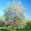Single blossoming tree in spring. — Stock Photo