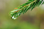 Coniferous twig with drop of water — 图库照片