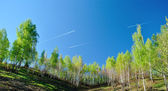 Birch trees in spring season — Stock Photo