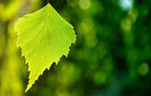 Birch leaf against green background — Stock Photo