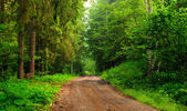Path of pine and green fir forest in late summer. — Stock Photo
