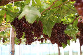 Grapes in organic farm — Stock Photo