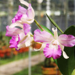 Stock Photo: Pink flower orchid