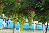 Bunch of green grapes on the organic farm — Stock Photo