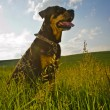 Rottweiler — Stock Photo #39689675