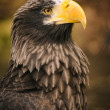Proud eagle — Stock Photo