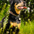 Rottweiler — Stock Photo #39689915