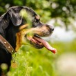 Rottweiler — Stock Photo #39689927