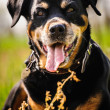 Rottweiler — Stock Photo #39689975