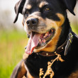 Rottweiler — Stock Photo #39689981