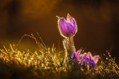 Pasqueflowers in spring — Stock Photo