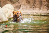 堪察加半岛熊 — 图库照片