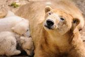 Polar bears — Stock Photo