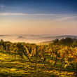 Stock Photo: Vineyard in Central Europe