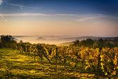 Vineyard in Central Europe — ストック写真