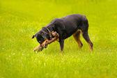 Bir yaz öğleden sonra boyunca rottweiler köpek ülkenin — Stok fotoğraf